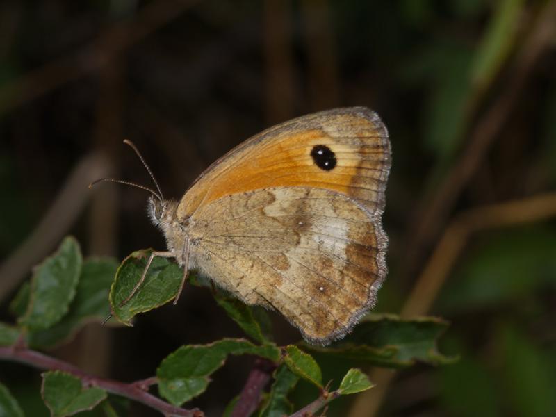 papillon qui pause! P1160810