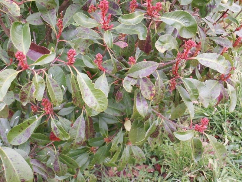Quelle Maladie sur mon arbuste svp ?  Pict1016