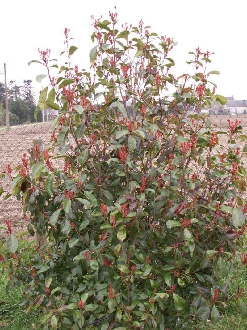 Quelle Maladie sur mon arbuste svp ?  Pict1018