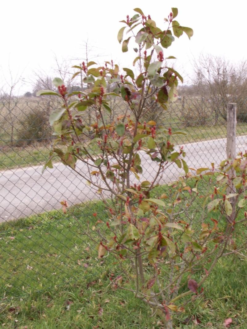 Quelle Maladie sur mon arbuste svp ?  Pict1021