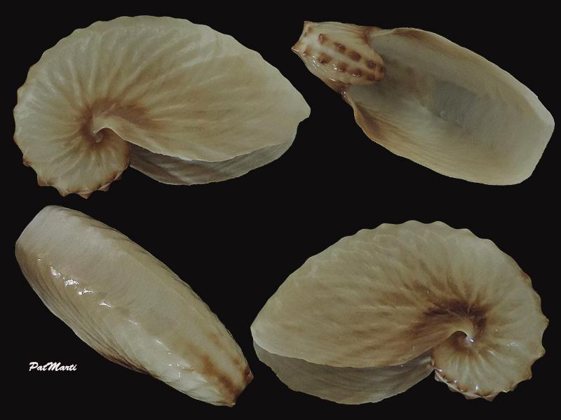 Argonauta hians - Lightfoot, 1786 Argona10