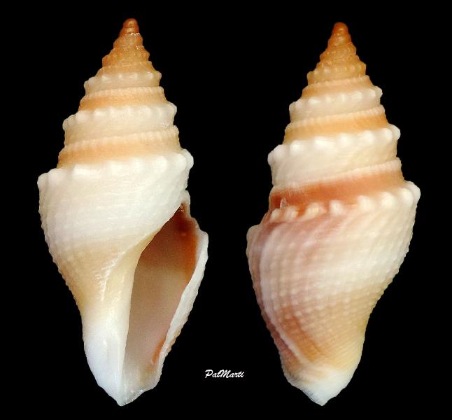 Borsoniidae Bathytoma agnata - Hedley & Petterd, 1906 Bathyt10