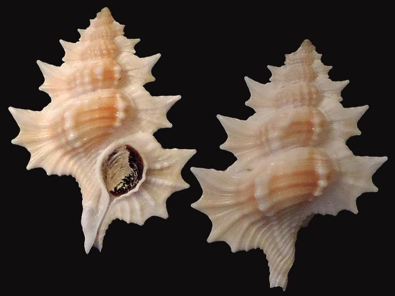 Cymatiidae Gyrineum aculeatum - (Schepman, 1909) Biplex10
