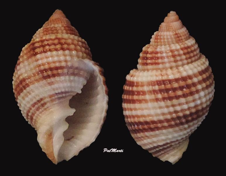 Cancellaria reticulata - (Linnaeus, 1767)  Cancel10