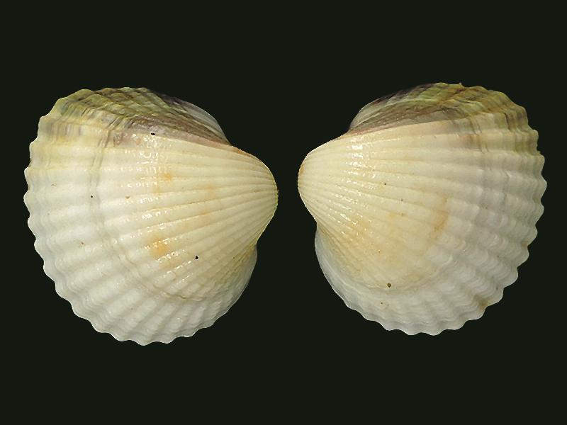 Cerastoderma edule - (Linnaeus, 1758)  Cardii10