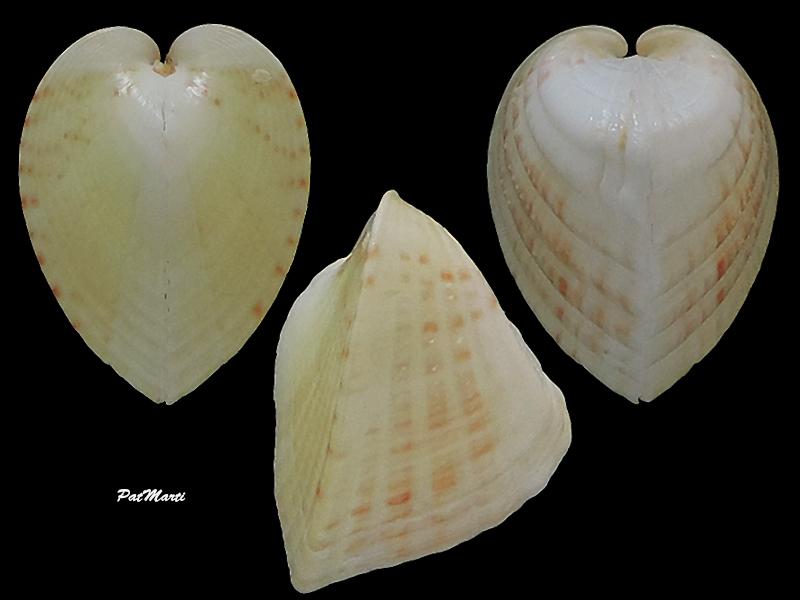Lunulicardia hemicardium - (Linnaeus, 1758)  Cardii13