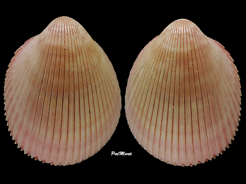 Vasticardium coralense - (Vidal, 1993) Cardii16