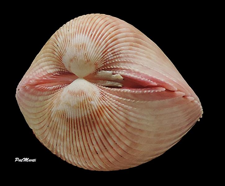 Vasticardium coralense - (Vidal, 1993) Cardii17