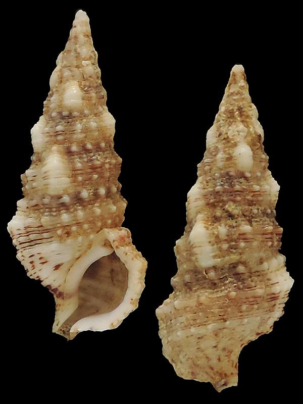 cerithium atratum (Born, 1778) Cerith10