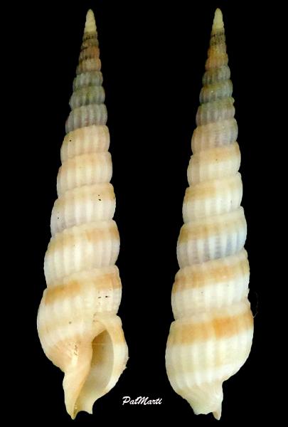 Clathroterebra dedonderi - (Terryn, 2003)  Clathr10