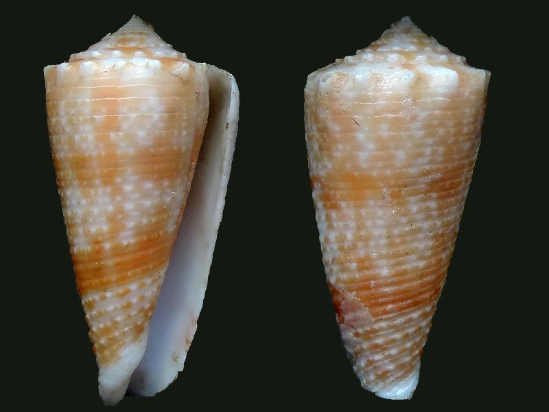 Conus (Phasmoconus) marielae  Rehder & Wilson, 1975 Conida12