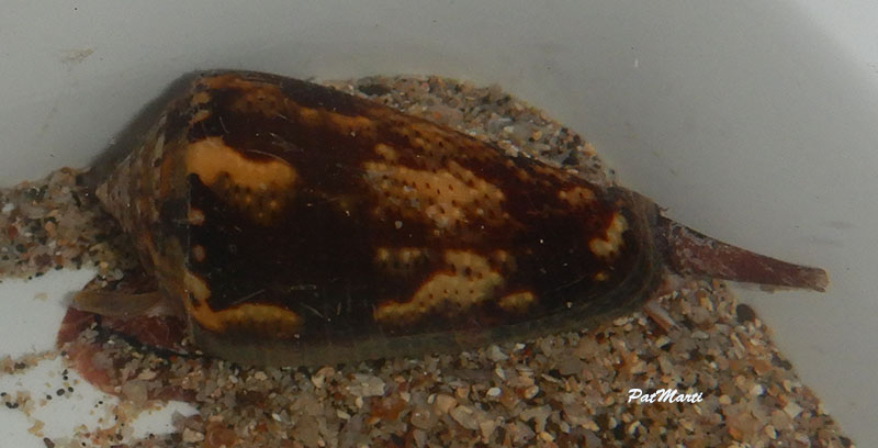 Conus (Pionoconus) easoni   (Petuch & Berschauer, 2018) - Page 2 Conida22