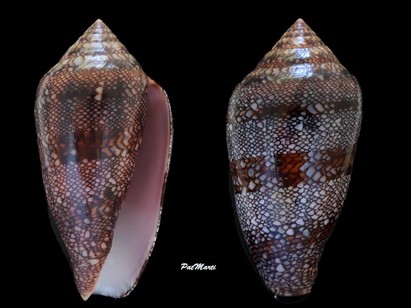 Conus (Cylinder) canonicus textilinus   Kiener, 1845  - Page 3 Conida24