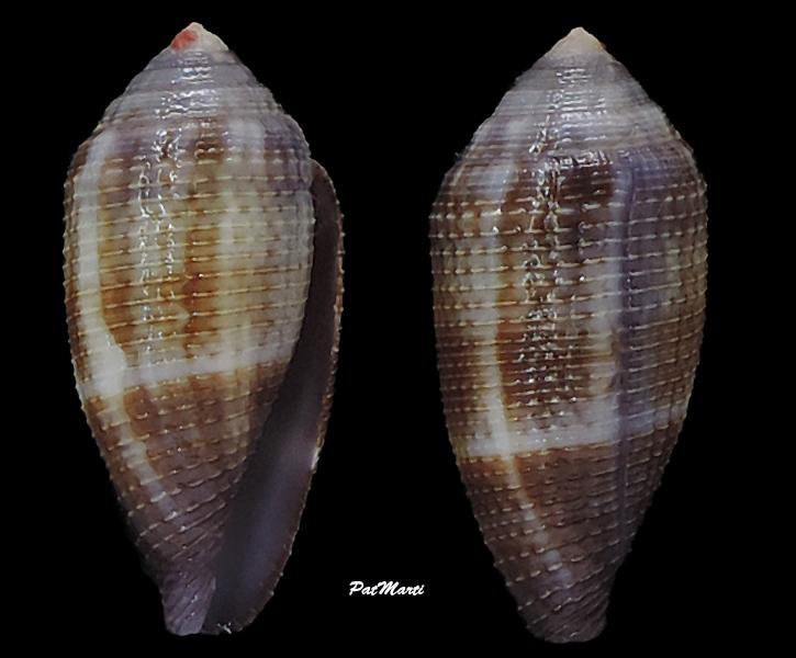 Conus (Leporiconus) glans  Hwass in Bruguière, 1792 Conida32