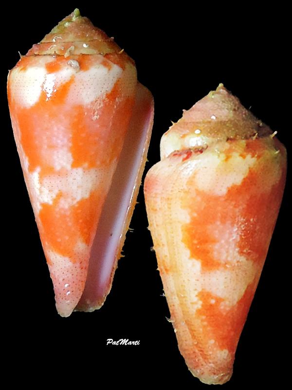 Conus (Rhizoconus) pertusus elodieallaryae  Cossignani, 2013 Conida34