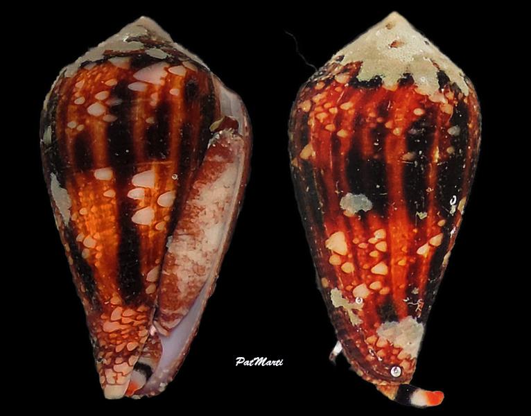Conus (Cylinder) retifer   Menke, 1829 - Page 3 Conida44