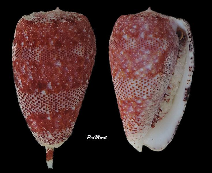 Conus (Textilia) adamsonii   Broderip, 1836 - Page 5 Conida46