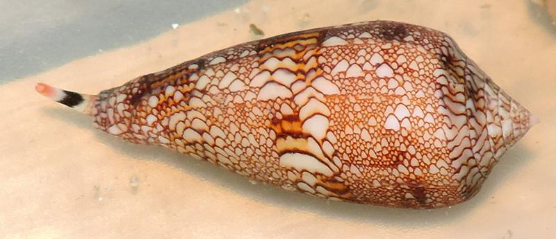 Conus (Cylinder) canonicus textilinus   Kiener, 1845  - Page 3 Conida47