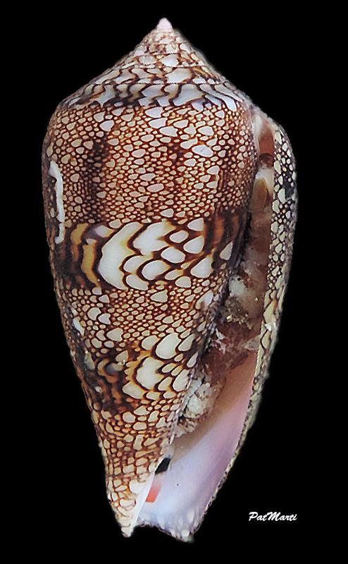 Conus (Cylinder) canonicus textilinus   Kiener, 1845  - Page 3 Conida49