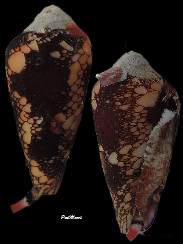 Conus (Darioconus) magnificus   Reeve, 1843 - Page 5 Conida53