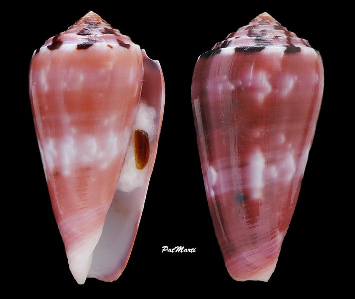 Conus (Pionoconus) gauguini  Richard & Salvat, 1973 - Page 7 Conida54