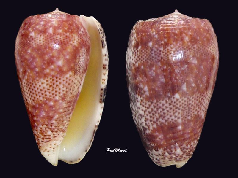 Conus (Textilia) adamsonii   Broderip, 1836 - Page 5 Conida55