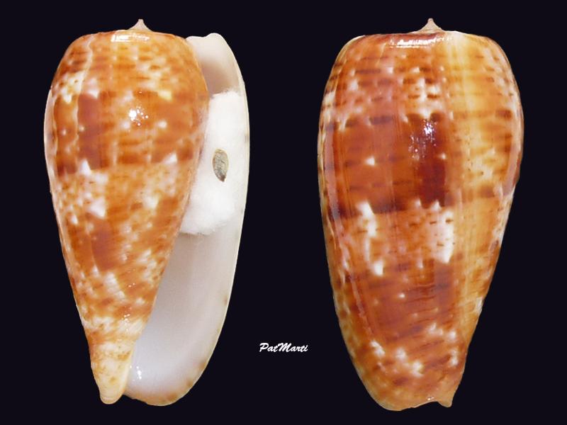 Conus (Textilia) bullatus   Linnaeus, 1758 - Page 3 Conida56