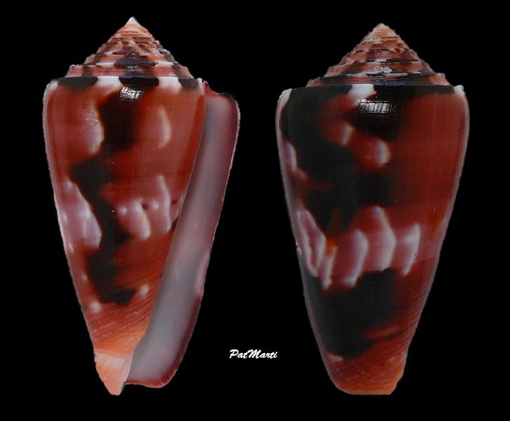 Conus (Pionoconus) gauguini  Richard & Salvat, 1973 - Page 8 Conida57