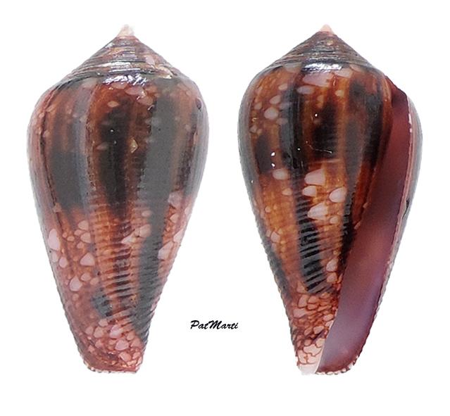 Conus (Cylinder) retifer   Menke, 1829 - Page 3 Conida58