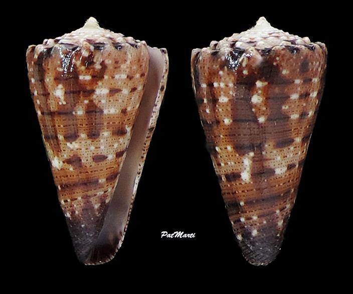 Conus (Stephanoconus) pseudimperialis  Moolenbeek Zandbergen Bouchet, 2008 - Page 3 Conida59