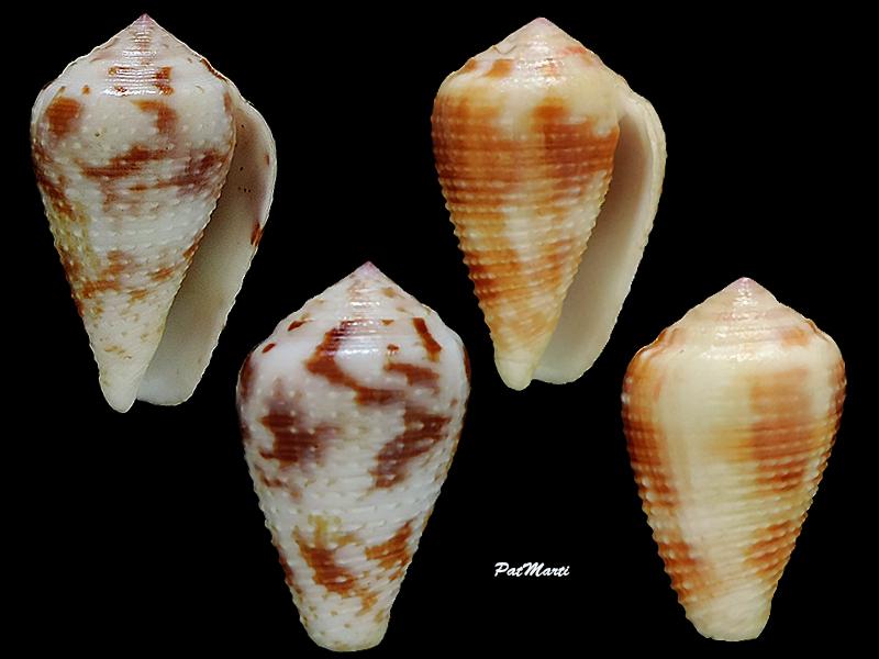 Conus (Pionoconus) catus rubrapapillosus  Dautzenberg 1937 Conida61