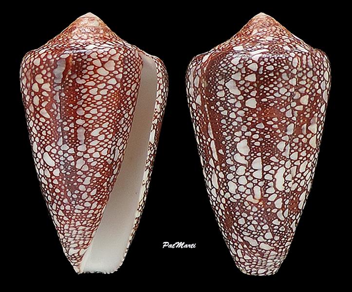 darioconus quasimagnificus (da Motta, 1982)  Conida62