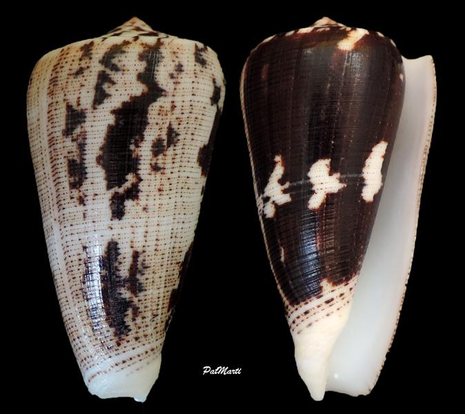 Conus (Pionoconus) magus assimilis Adams, 1855 voir Conus (Pionoconus) magus - Page 2 Conus-11