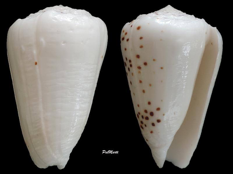 Puncticulis pulicarius (Hwass in Bruguière, 1792) - Page 2 Conus-13