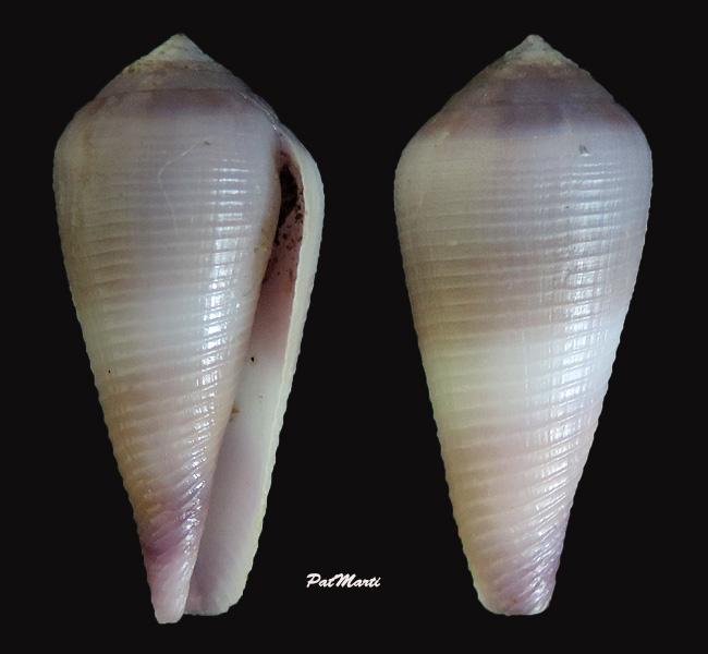 Virgiconus terebra (Born, 1778) - Juvénile Conus-18