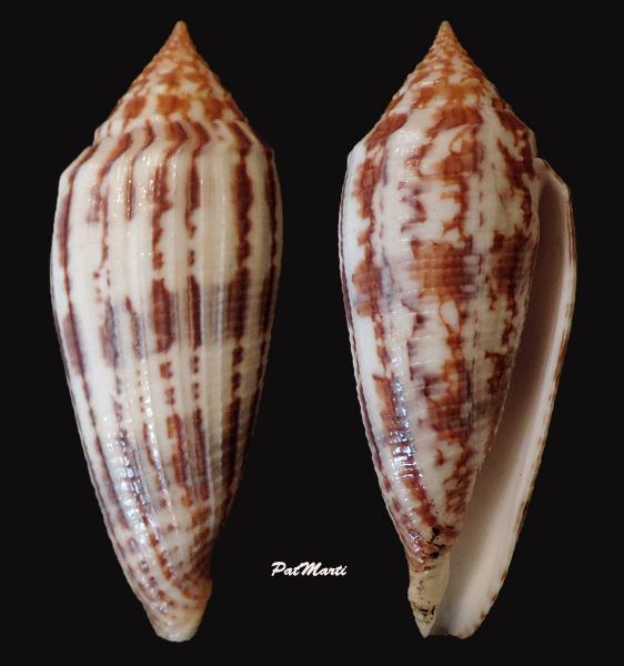 Conus (Phasmoconus) australis  Holten, 1802 Conus-26