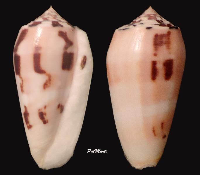 Conus (Pionoconus) striatus chusaki (da Motta 1978) voir Conus (Pio.) striatus Conus-27