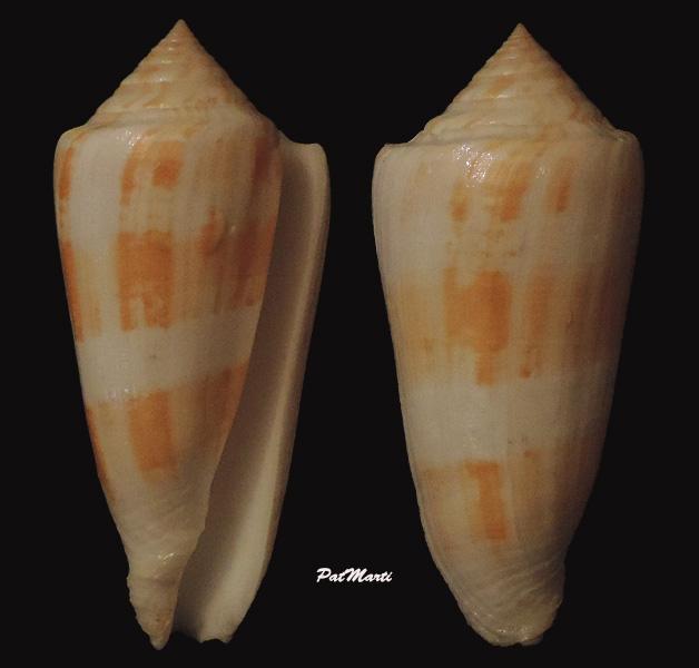 Conus (Pionoconus) consors  GB Sowerby I, 1833 Conus-28