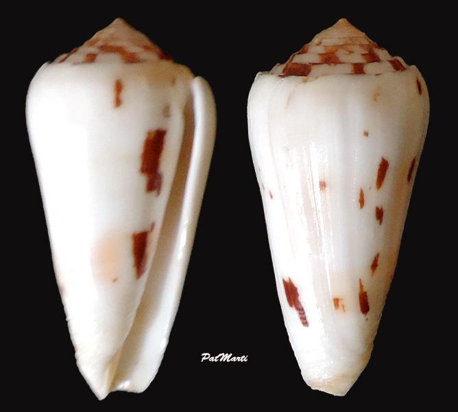 Conus (Pionoconus) leehmani da Motta & Röckel, 1982 Conus (Pio.) gubernator - Page 2 Conus-29