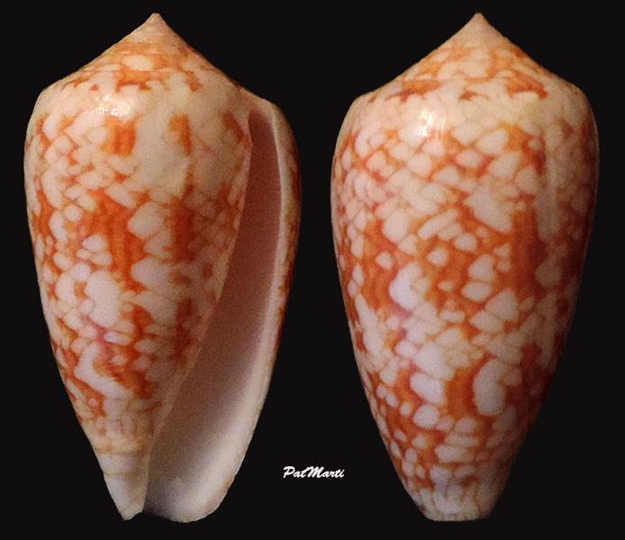 Conus (Cylinder) archiepiscopus sirventi   Fenaux 1943 - Page 3 Conus-32