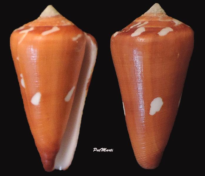 Conus (Darioconus) crocatus thailandis  da Motta, 1978 Conus-34