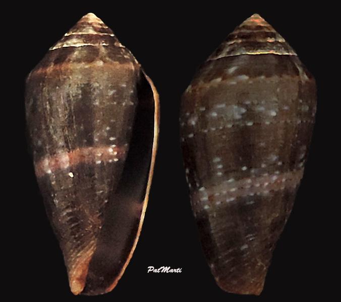 Conus (Lautoconus) bruguieresi    Kiener, 1846 - Page 2 Conus-38