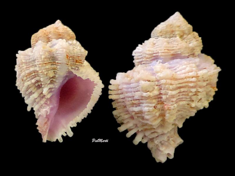 Coralliophila bulbiformis - (Conrad, 1837)  Corall10
