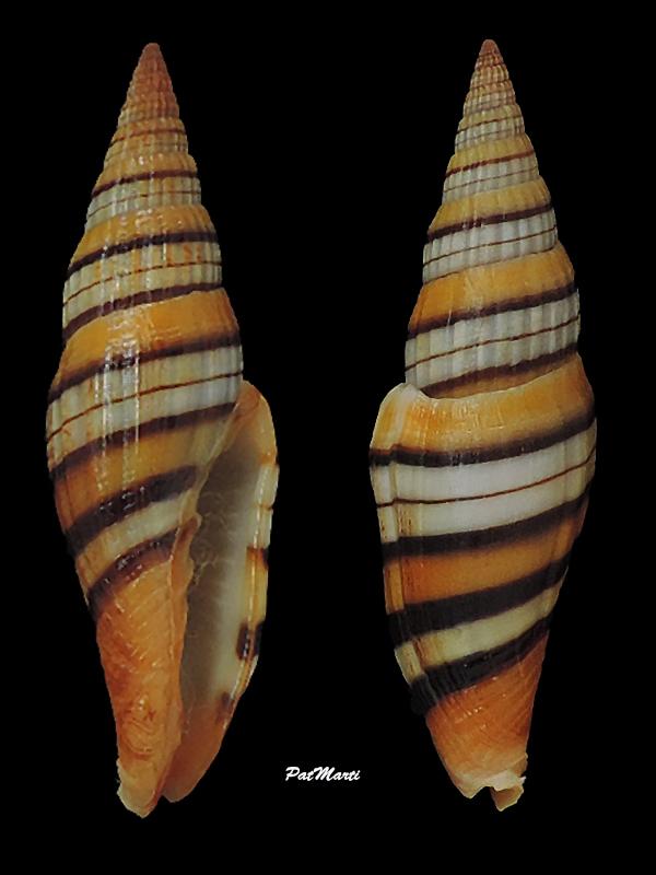 Vexillum taeniatum - (Lamarck, 1811) Costel15