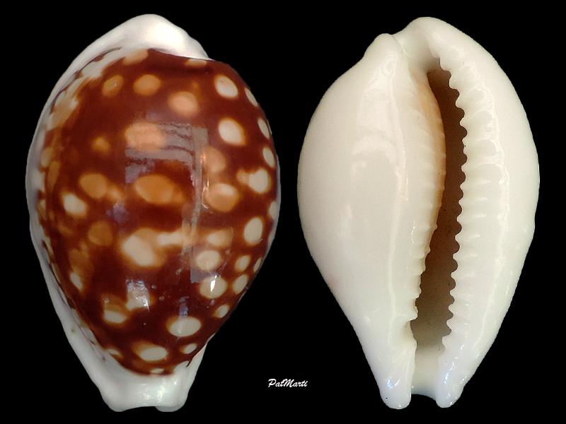 Cribrarula exmouthensis magnifica - Lorenz, 2002 Cribra11