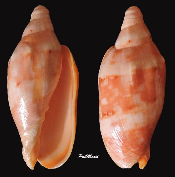 Cymbiola malayensis - Douté & Bail, 2000 Cymbio10