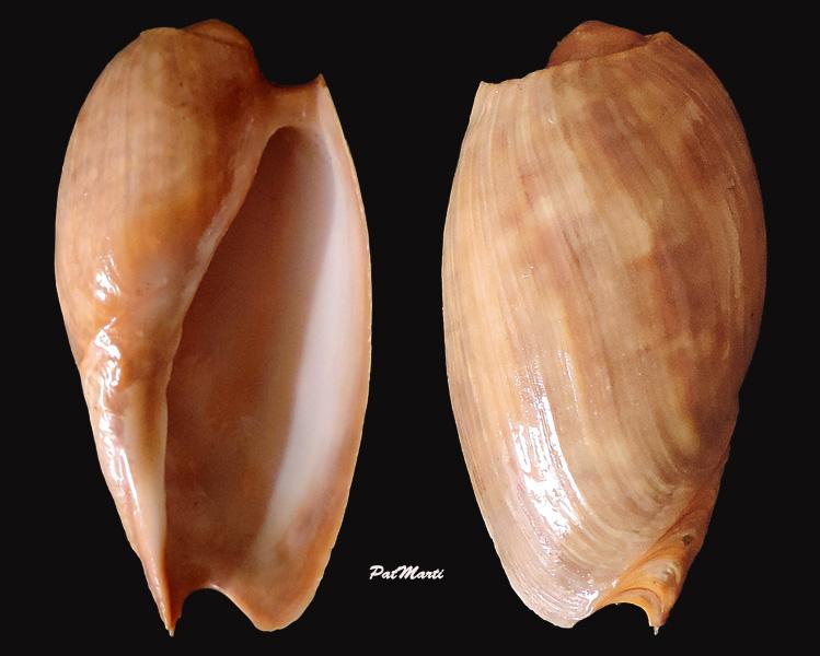 Cymbium gracile - (Broderip, 1830)  Cymbiu10