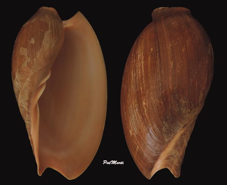 Cymbium senegalensis - Marche-Marchad, 1978 Cymbiu11