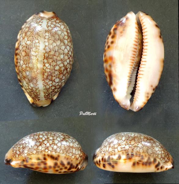 Mauritia eglantina momokiti - (Steadman & Cotton, 1943) Cyp-eg10