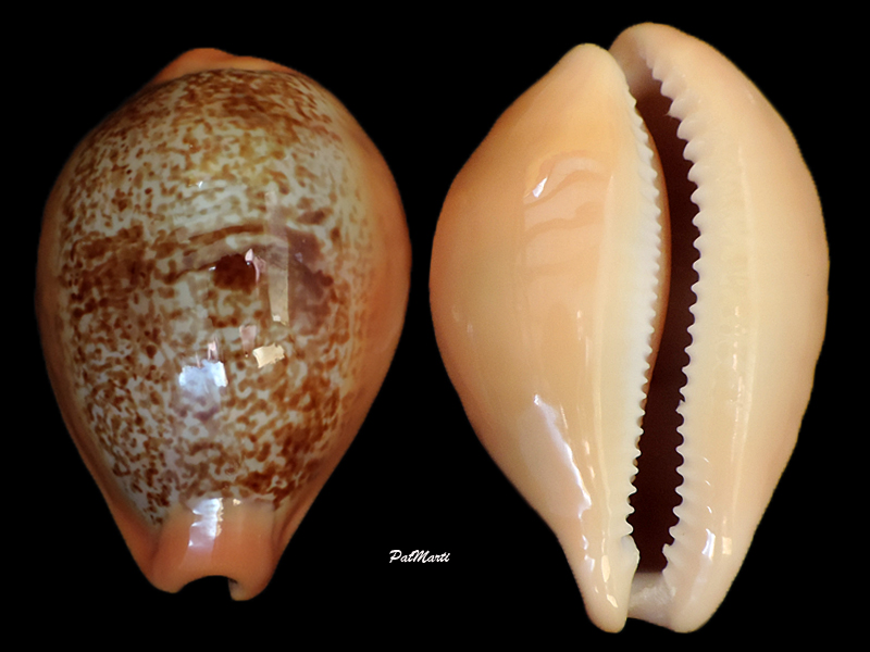 Austrasiatica langfordi poppeorum - Lorenz & Chiapponi, 2017  Cyp-la11